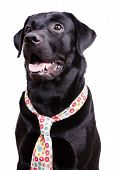 Black Labrador In A Flowered Tie