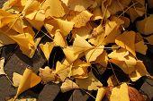 ginko leaves in fall