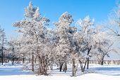 Birch wood in winter Russia