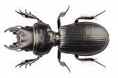 Beetle Species Lucanus Cervus