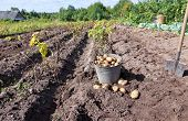 Fresh Potatoes In A Potatoes Field At The Novgorod Region Of Russia