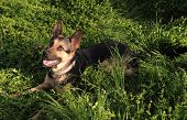 German shepherd in a grass