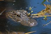 Lurking Alligator