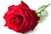 picture of rose close up  - Single red rose flower isolated on white background - JPG