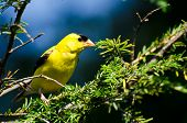 stock photo of goldfinches  - Male American Goldfinch Perched in a Tree - JPG