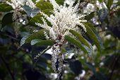 Persicaria japonica.