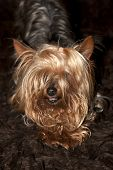 Relaxing Cupcake Yorkie Dog