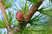 pic of pine cone  - Red larch flower on a branch in summer - JPG