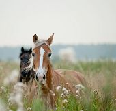 stock photo of chestnut horse  - horses in field in early soft morning - JPG