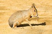 Mara or Patagonian hare