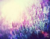 stock photo of lavender field  - Lavender - JPG