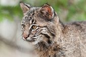 Bobcat Kitten (Lynx rufus) Looks Left