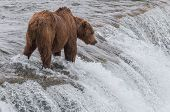 Grizzly Bear Waiting for Salmon