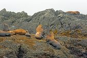 picture of stellar  - Stellar Sea Lions off the coast of Vancouver Island near Tofino - JPG