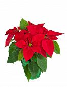 Red poinsettia in a flower pot