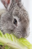 Gray Rabbit