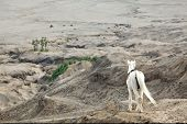 White horse stand at Desert Sand Dune Mountain Landscape of Bromo Volcano crater, East Java Island I