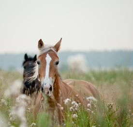 pic of fillies  - horses in field in early soft morning - JPG