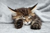 Maine Coon Kitten Sleep