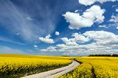 Country way on spring field of yellow flowers, rape. Blue sunny sky. Landscape backgrounds