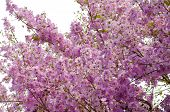 Inthanin Flowers  Or Queen Crape Myrtle