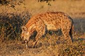 A spotted hyena (Crocuta crocuta) eating a bone, South Africa