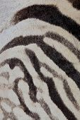 Close-up view of the skin of a Plains (Burchells) Zebra (Equus burchelli)