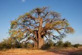 African Baobab Tree, southern Africa