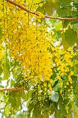foto of cassia  - Flowers of Golden Shower Tree bloom in summer  - JPG