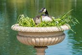 stock photo of mother goose  - Canadian Goose made nest in a decorative vase - JPG