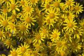 Yellow Camomile Backgound