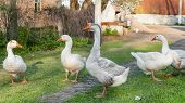 Geese And Goose Are Grazing