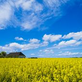 farmhouse in canola field