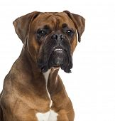 Headshot of a Boxer (10 months old)