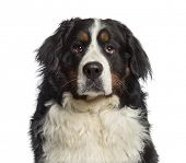 Headshot of a Bernese Mountain Dog (18 months old)