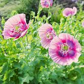 Pink poppies back lit in the summer garden.