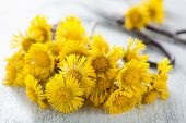 coltsfoot flowers and scissors