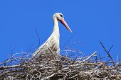Stork In Its Nest