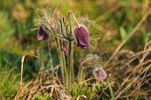 Pasque-flower in nature
