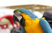 Closeup of a blue and yellow beautiful macaw