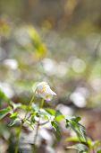 Snowdrop Anemone Flowers In Sunshine