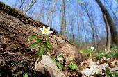 Snowdrop Anemone Flower In Forest