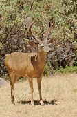 Californian Black-tailed buck