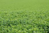 stock photo of alfalfa  - Picture of a beautiful green alfalfa field - JPG