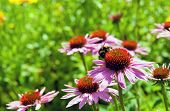 Echinacea other names  Coneflowers