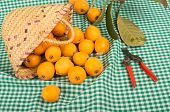 picture of loquat  - A still life with freshly picked loquats and pruning scissors - JPG