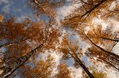 Birch Trunks With Autumn Foliage  On The Sky