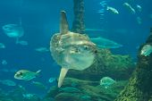 picture of mola  - Huge luna - JPG