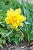 Yellow Narcissus Dick Wilden
