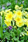 Yellow High Primrose